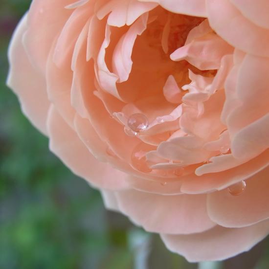 rose20150713.jpg